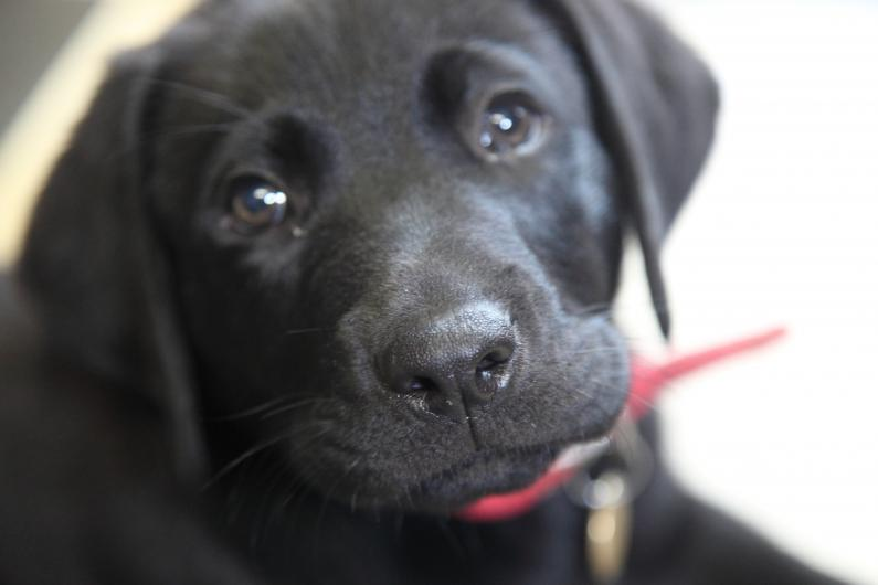 PET06GuideDogPuppy2